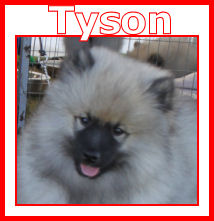 Keez Across The Finnish Line - Bred by Cheri & Trevor Rogers - Owned By Petri Turunen - Eerondaali Keeshond - Finland